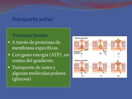 Transporte activo Proteínas bomba A través de proteínas de membrana específicas. Con gasto energía (ATP), en contra del gradiente. Transporte de iones.