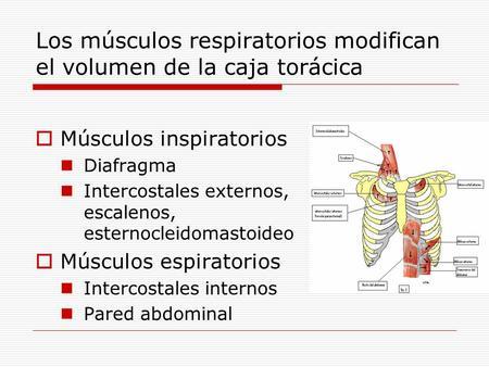 Los músculos respiratorios modifican el volumen de la caja torácica Músculos inspiratorios Diafragma Intercostales externos, escalenos, esternocleidomastoideo.