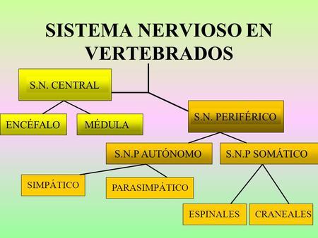 SISTEMA NERVIOSO EN VERTEBRADOS S.N. CENTRAL S.N. PERIFÉRICO ENCÉFALOMÉDULAS.N.P SOMÁTICOS.N.P AUTÓNOMO SIMPÁTICOPARASIMPÁTICOCRANEALESESPINALES.